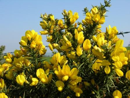 Depression Treatment with the help of Gorse
