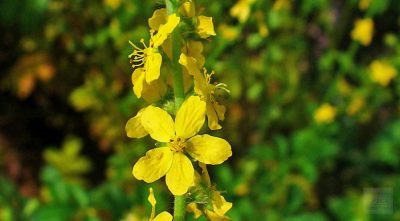 bach flower remedy agrimony, agrimony benefits, agrimony uses, bach flower mental torture, agrimony symptoms, flower remedy agrimony, bach flower agrimony,