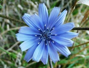 bach flower remedy chicory, chicory benefits, chicory uses, chicory symptoms, flower remedy chicory, bach flower chicory, share love care with ease, without any term,