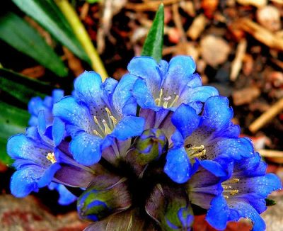 bach flower remedy gentian, gentian benefits, gentian uses, gentian symptoms, flower remedy gentian, bach flower gentian, increase faith courage trust, release false illusions