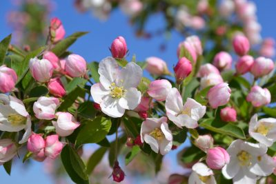 bach flower remedy crab apple, crab apple benefits, crab apple uses, crab apple symptoms, flower remedy crab apple, bach flower crab apple, psychic pollution, unclean feelings,