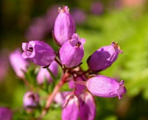 bach flower remedy heather, heather benefits, heather uses, heather symptoms, flower remedy heather, bach flower heather, over talkative chatterbox, fear of being alone, self obsession, self centeredness, self concern, attention seeking urge, over talkative disorder,