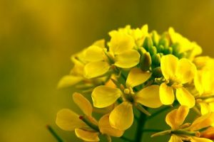 bach flower remedy mustard, mustard benefits, mustard uses, mustard symptoms, flower remedy mustard, bach flower mustard, dark negative depressive life