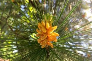 bach flower remedy pine, pine benefits, pine uses, pine symptoms, flower remedy pine, bach flower pine, self pettiness cure, minuteness cure, worthlessness cure,