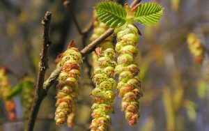 bach flower remedy hornbeam, hornbeam benefits, hornbeam uses, hornbeam symptoms, flower remedy hornbeam, bach flower hornbeam,