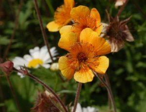 bach flower remedy beech, beech benefits, beech uses, beech symptoms, flower remedy beech, bach flower beech,