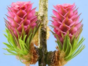 bach flower remedy larch, larch benefits, larch uses, larch symptoms, flower remedy larch, bach flower larch, larch self confidence, larch self esteem, larch success, larch opportunity, larch growth,