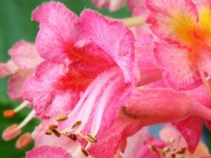 bach flower remedy red chestnut, red chestnut benefits, red chestnut uses, red chestnut symptoms, flower remedy red chestnut, bach flower red chestnut, fear about others, fear about love ones,