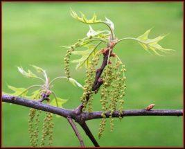 bach flower remedy oak, oak benefits, oak uses, oak symptoms, flower remedy oak, bach flower oak, think more rationally, avoid worthless pressures