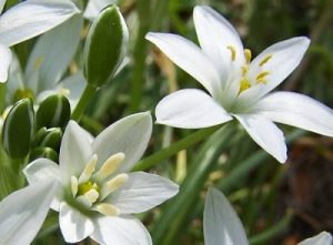 bach flower remedy star of bethlehem, star of bethlehem benefits, star of bethlehem uses, star of bethlehem symptoms, flower remedy star of bethlehem, bach flower star of bethlehem,
